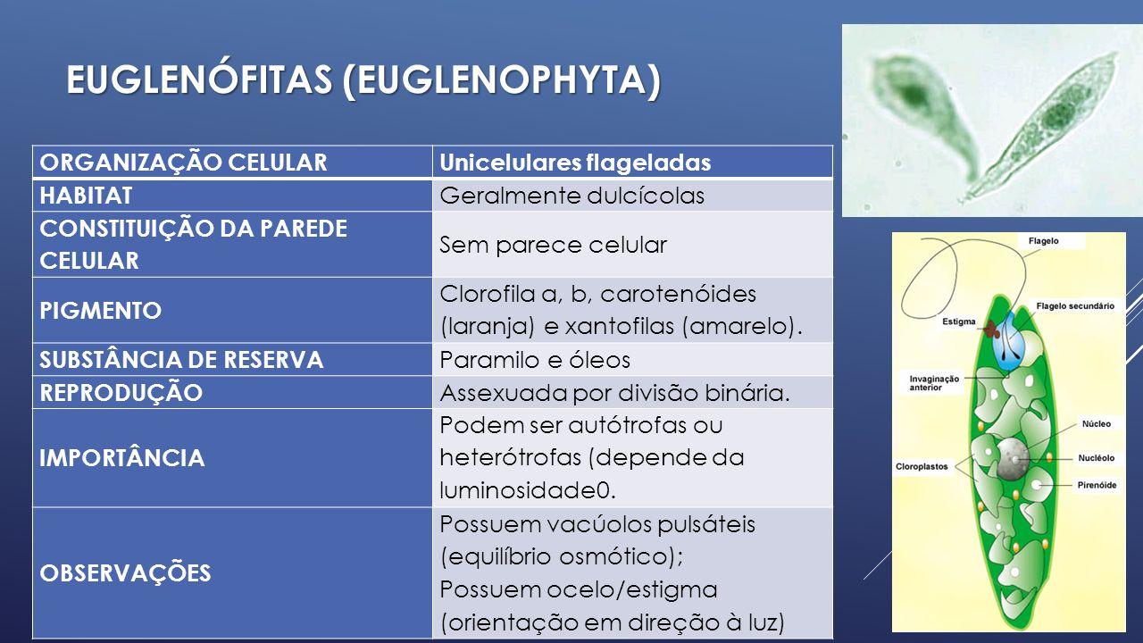 EUGLENÓFITAS (Euglenophyta)