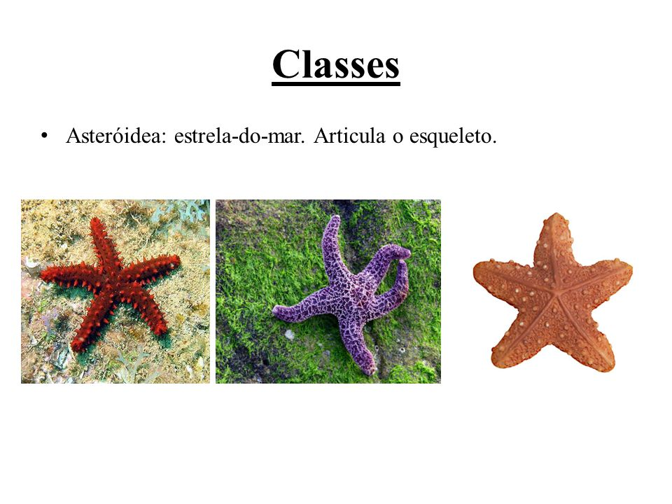 Classes Asteróidea: estrela-do-mar. Articula o esqueleto.