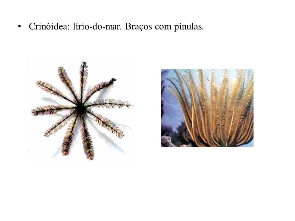 Crinóidea: lírio-do-mar. Braços com pínulas.