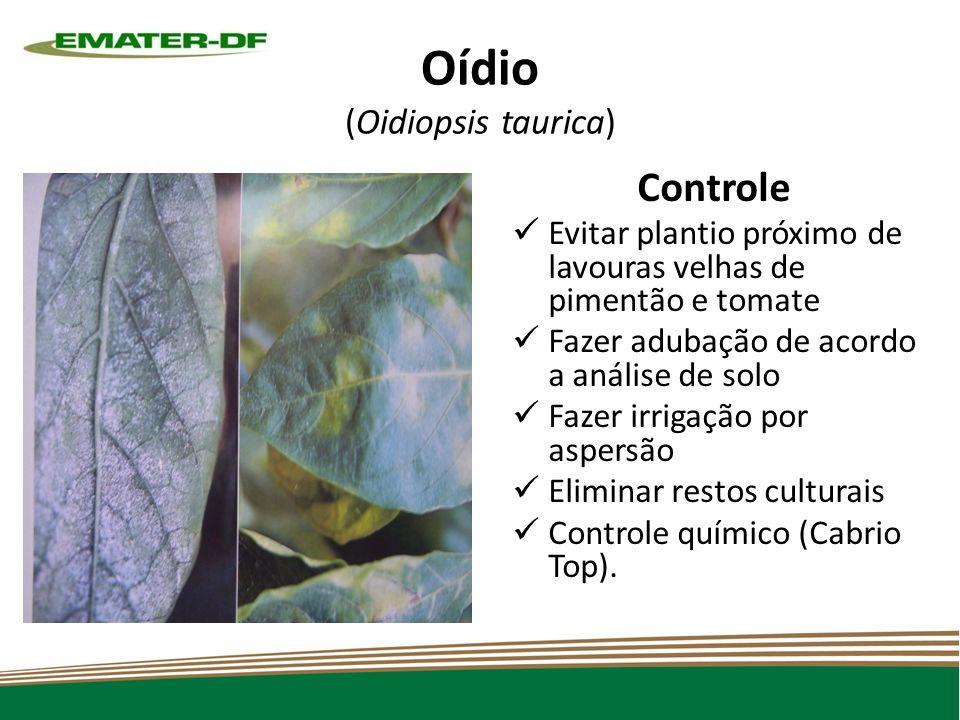 Oídio (Oidiopsis taurica)