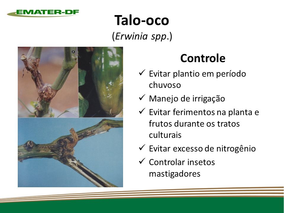 Talo-oco (Erwinia spp.)