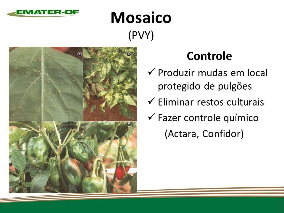 Mosaico (PVY) Controle Produzir mudas em local protegido de pulgões