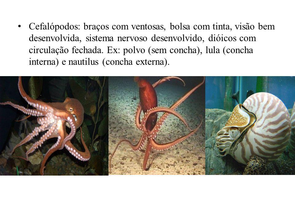 Cefalópodos: braços com ventosas, bolsa com tinta, visão bem desenvolvida, sistema nervoso desenvolvido, dióicos com circulação fechada.