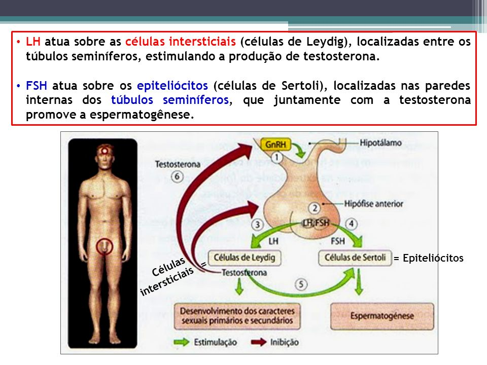 Células intersticiais =