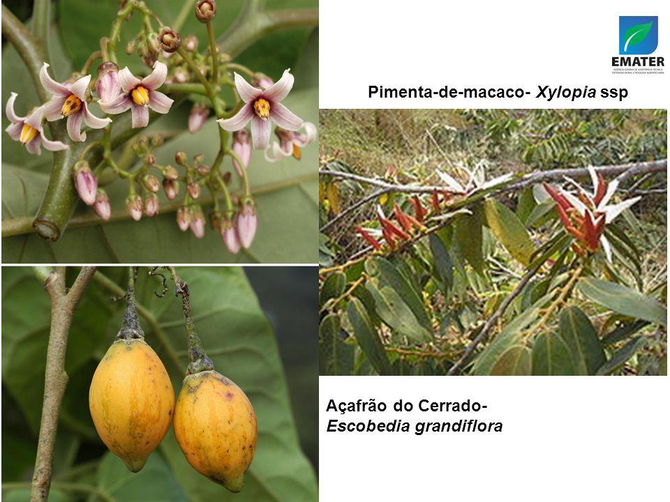 Pimenta-de-macaco- Xylopia ssp