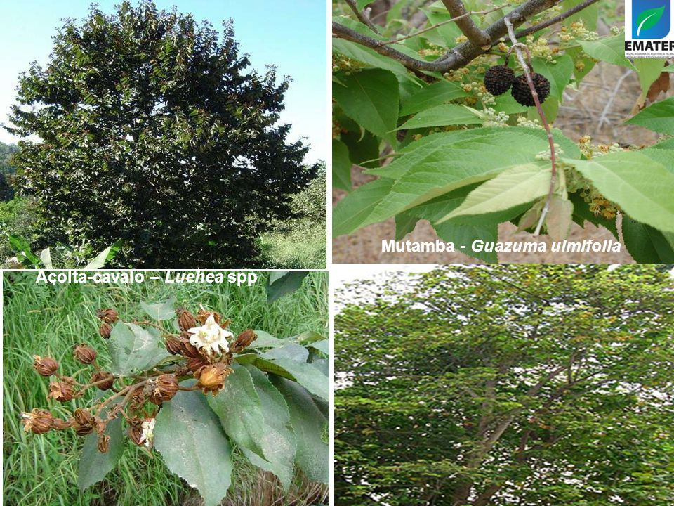 Mutamba - Guazuma ulmifolia