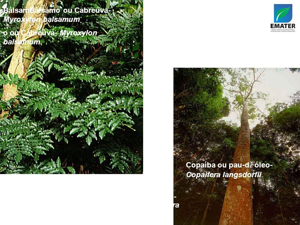 BálsamBálsamo ou Cabreúva- Myroxylon balsamum