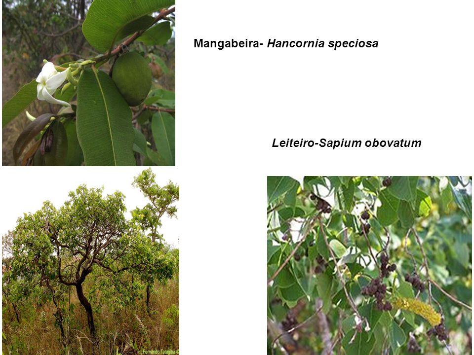 Mangabeira- Hancornia speciosa