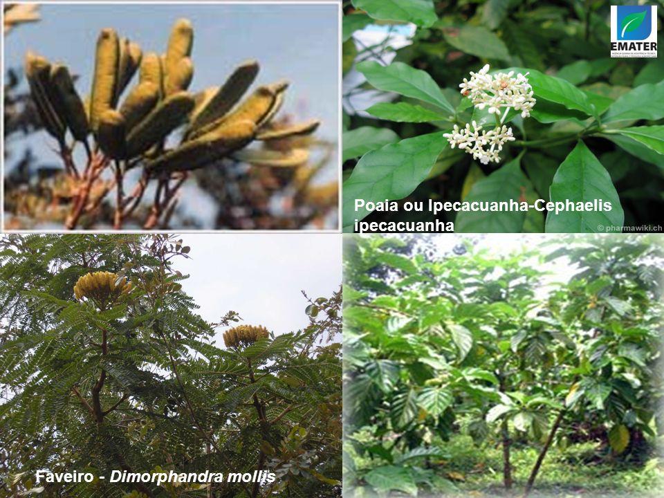 Poaia ou Ipecacuanha-Cephaelis ipecacuanha