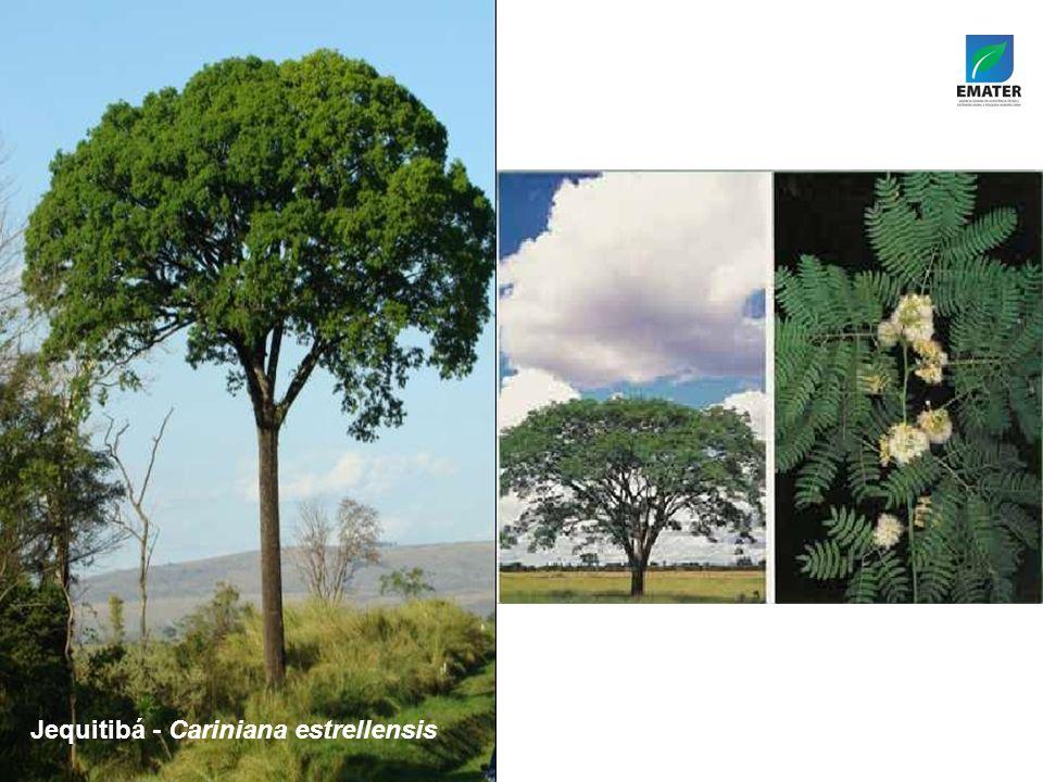 Tamboril-da-mata – Enterolobium contortisiliquum Jequitibá - Cariniana estrellensis