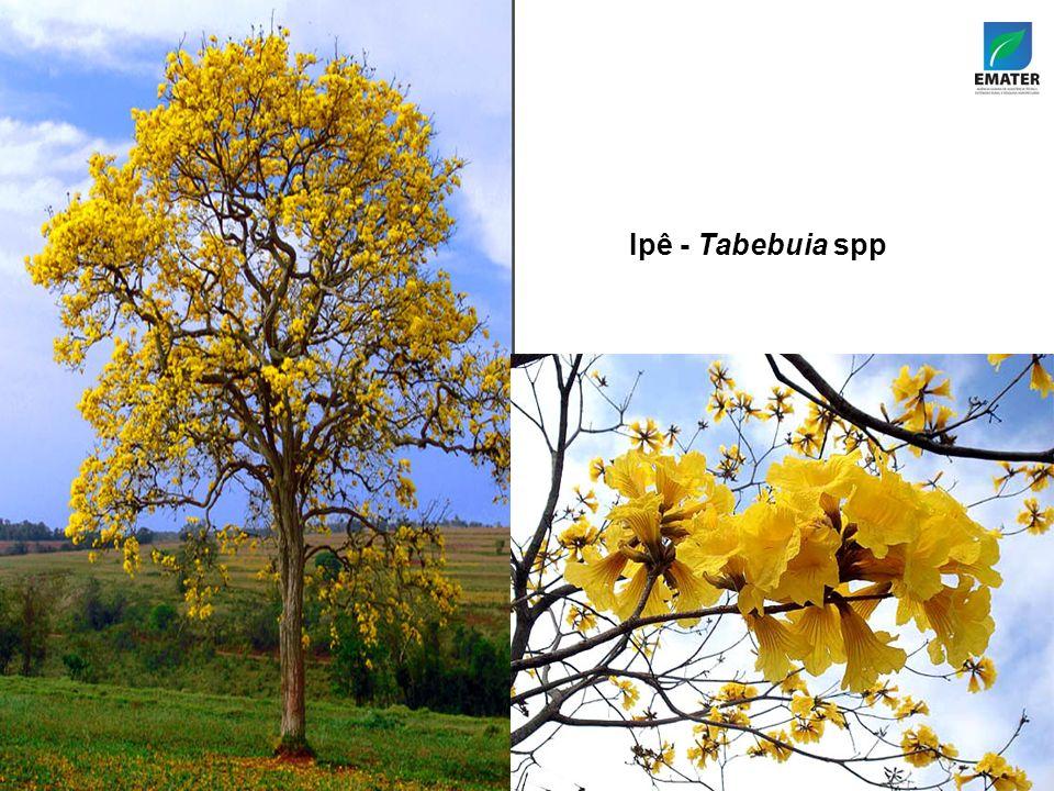 Ipê - Tabebuia spp