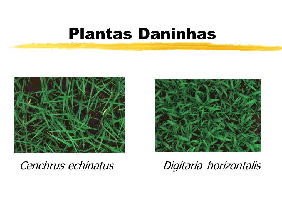Plantas Daninhas Cenchrus echinatus Digitaria horizontalis