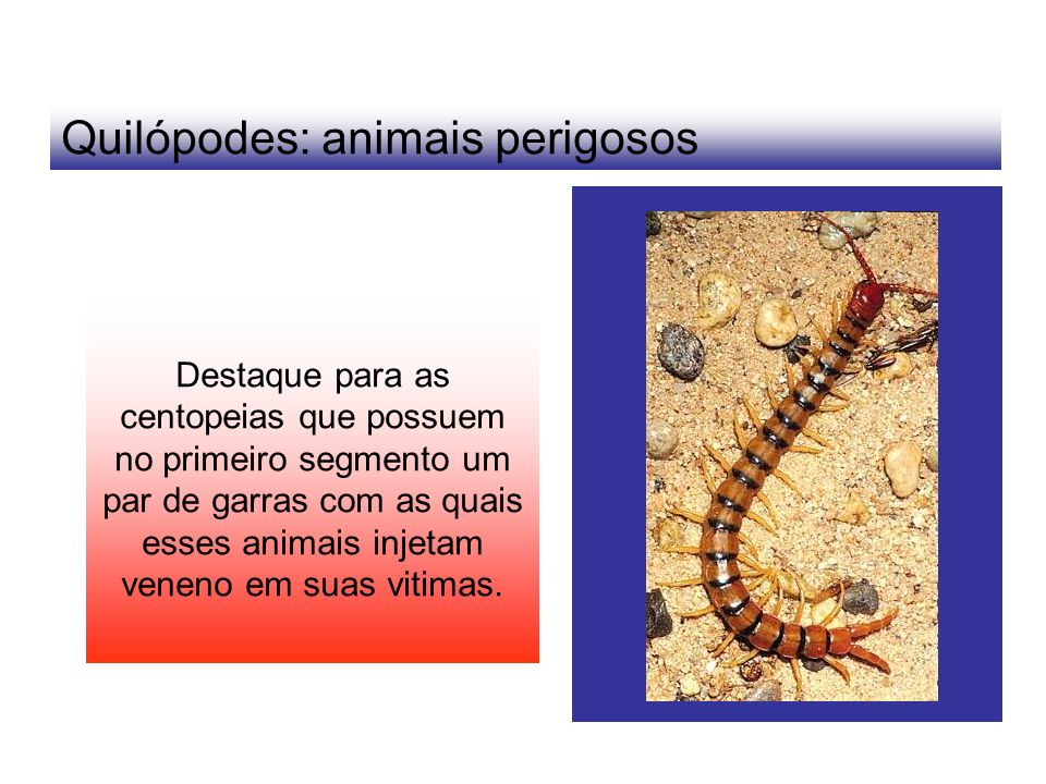 Quilópodes: animais perigosos
