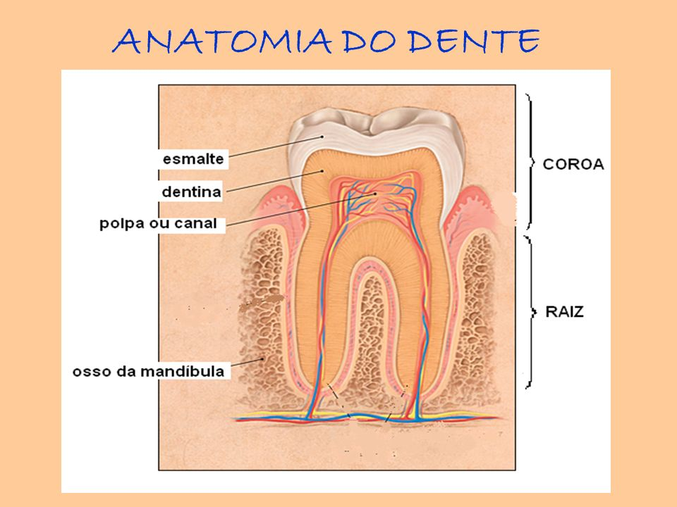 ANATOMIA DO DENTE