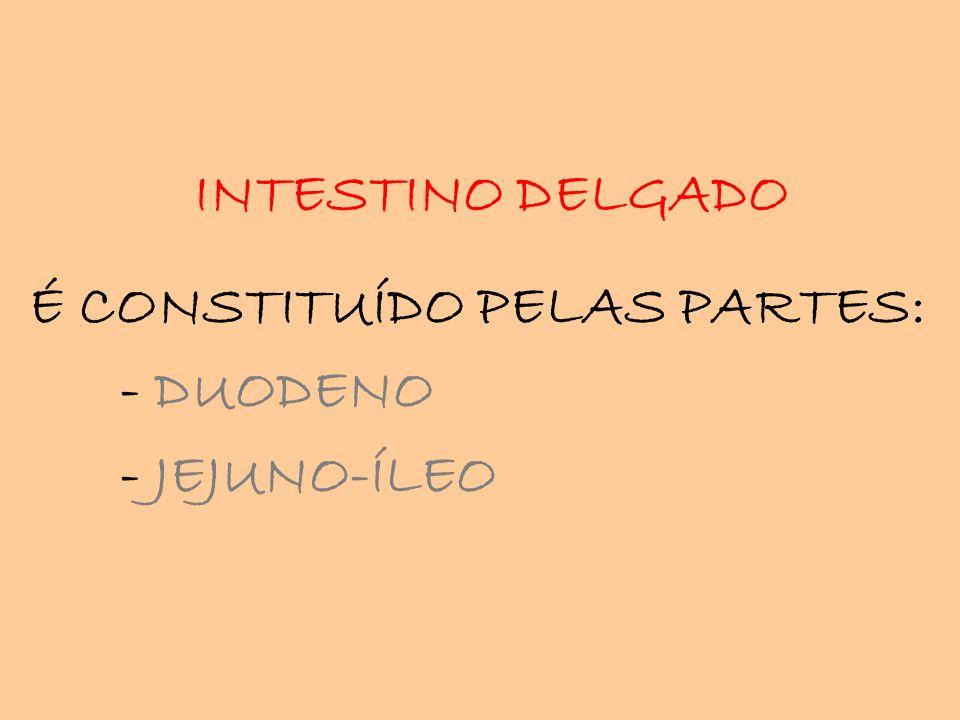INTESTINO DELGADO É CONSTITUÍDO PELAS PARTES: - DUODENO - JEJUNO-ÍLEO