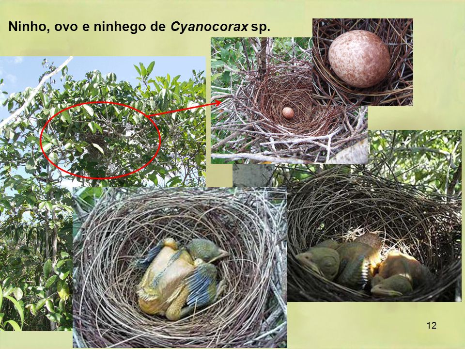 Ninho, ovo e ninhego de Cyanocorax sp.