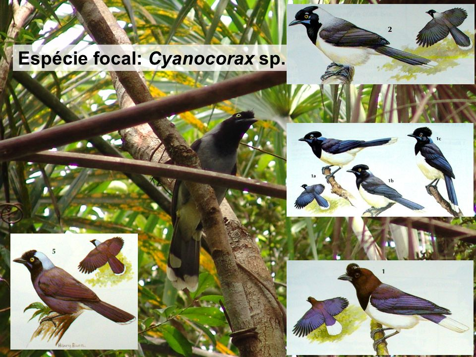 Espécie focal: Cyanocorax sp. Espécie focal: Cyanocorax sp.