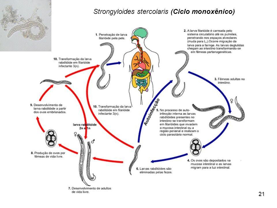 Strongyloides stercolaris (Ciclo monoxênico)