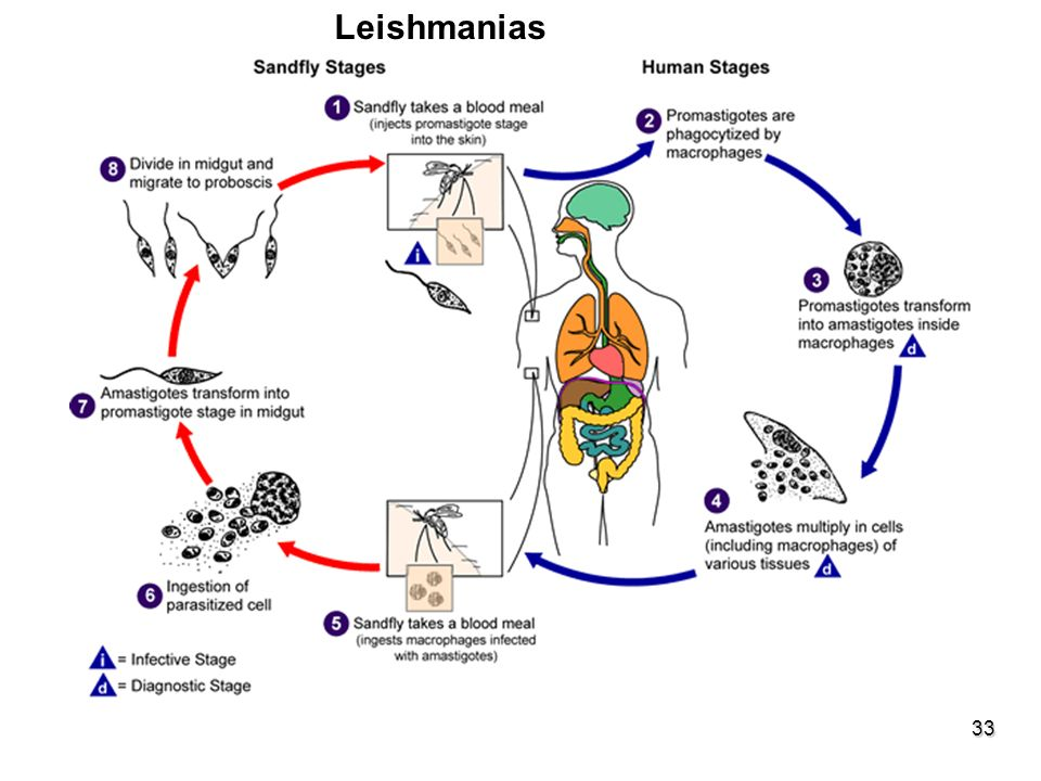 Leishmanias ESFEROMASTÍGOTAS-PARAMASTÍGOTAS Gênero inseto - Lutzomyia