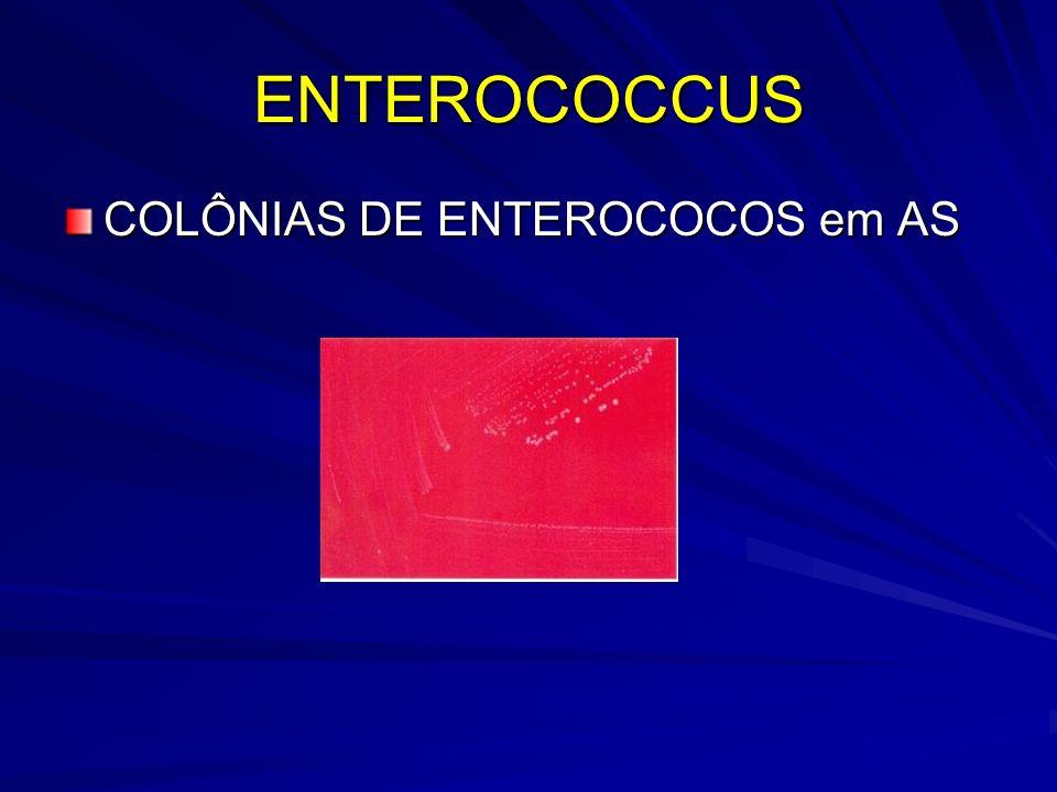ENTEROCOCCUS COLÔNIAS DE ENTEROCOCOS em AS
