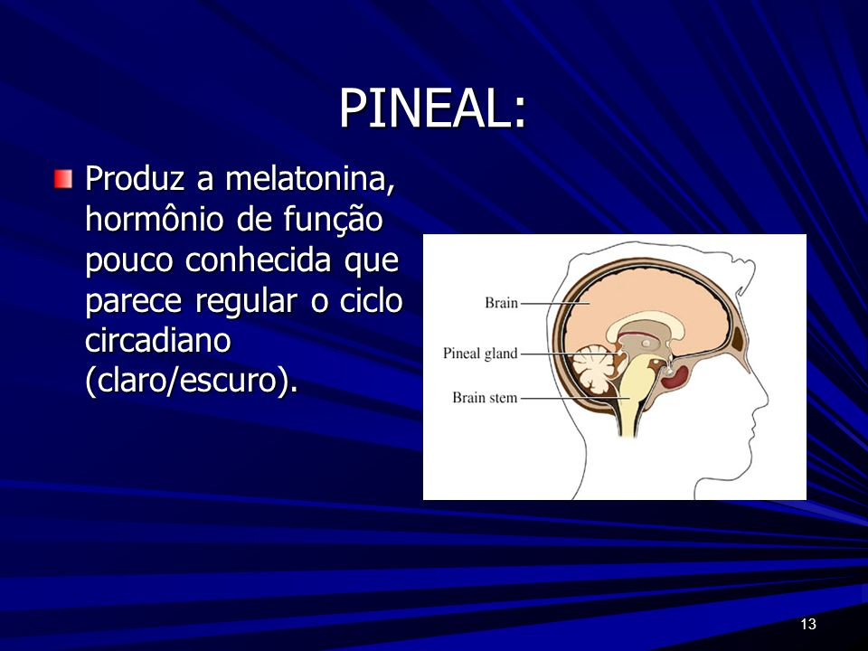 PINEAL: Produz a melatonina, hormônio de função pouco conhecida que parece regular o ciclo circadiano (claro/escuro).