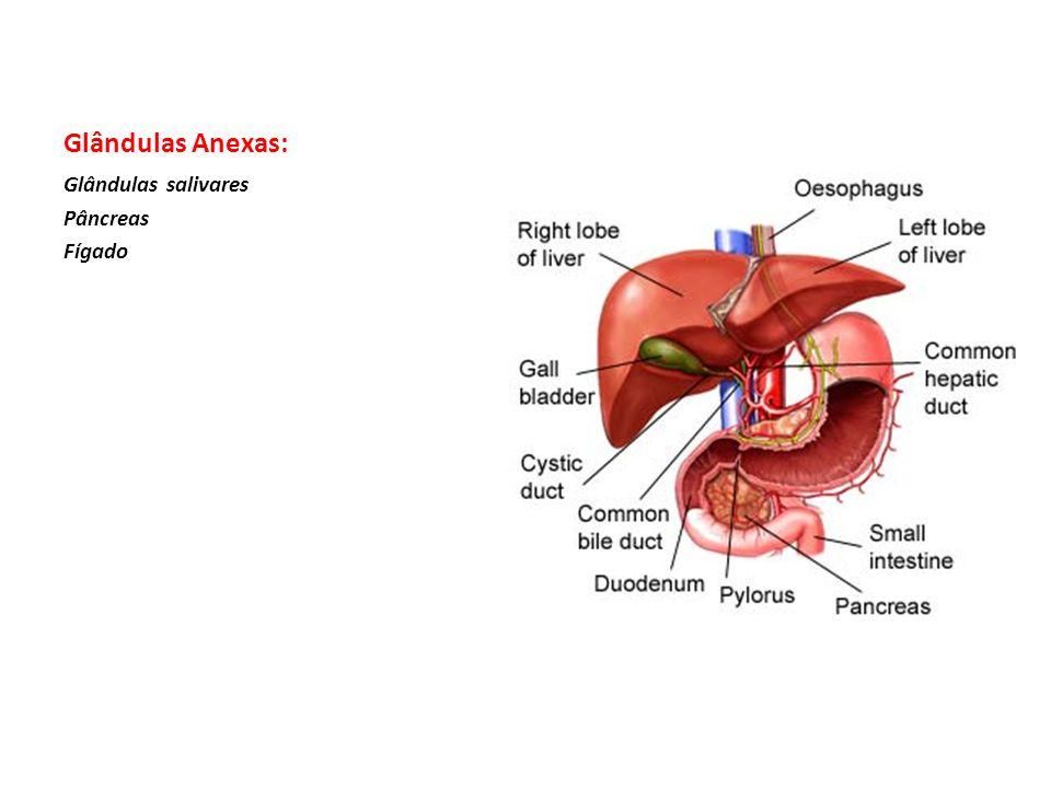 Glândulas Anexas: Glândulas salivares Pâncreas Fígado