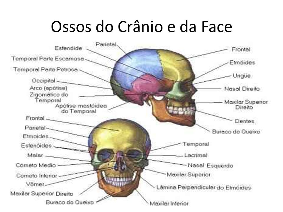 Ossos do Crânio e da Face