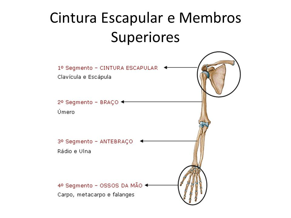 Cintura Escapular e Membros Superiores