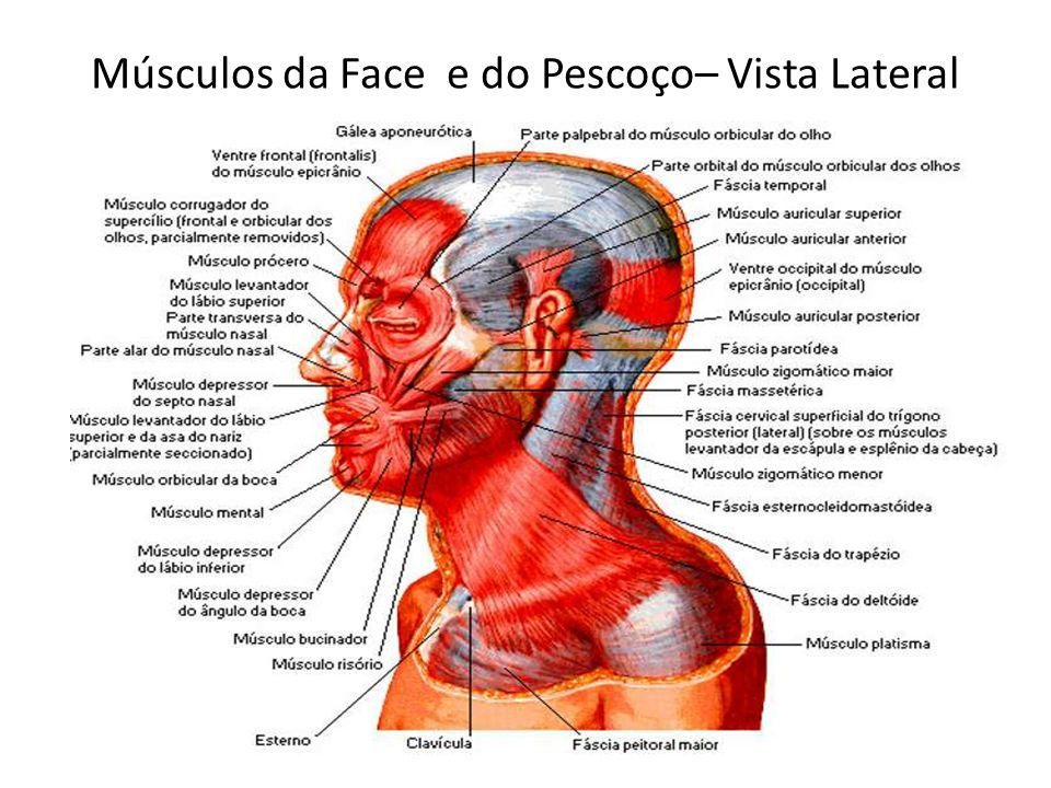 Músculos da Face e do Pescoço– Vista Lateral