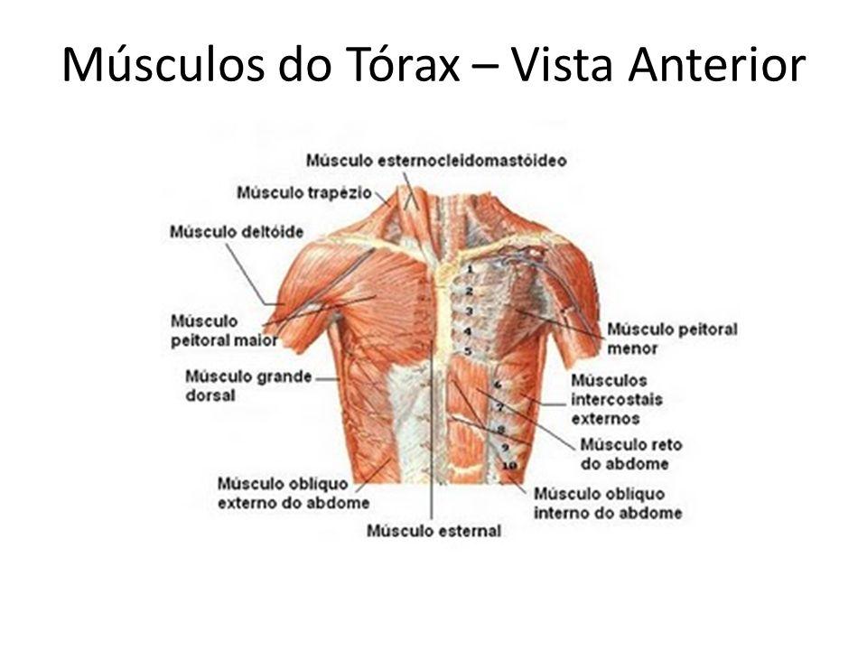 Músculos do Tórax – Vista Anterior