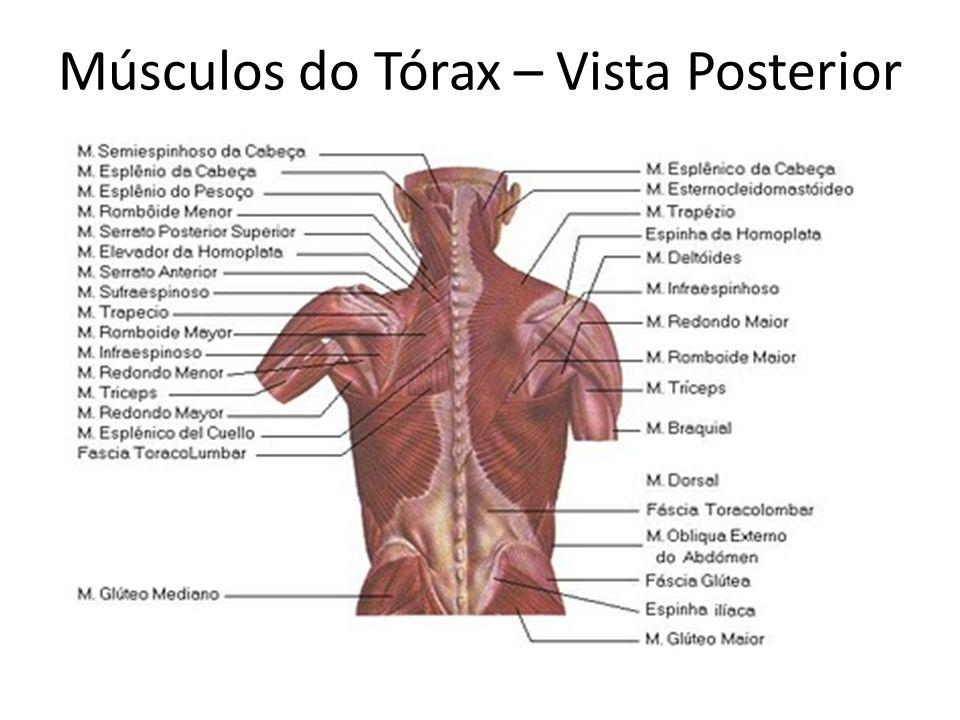 Músculos do Tórax – Vista Posterior