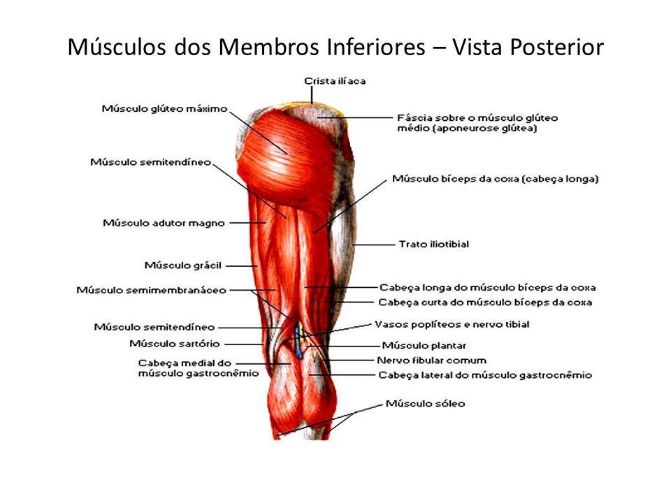Músculos dos Membros Inferiores – Vista Posterior