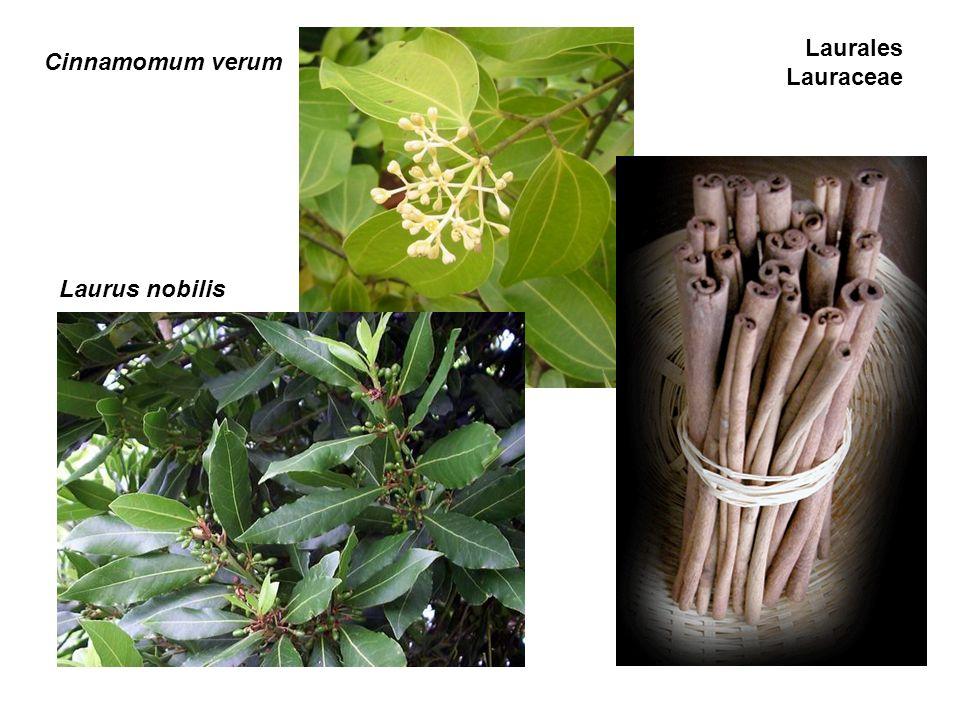 Laurales Lauraceae Cinnamomum verum Laurus nobilis