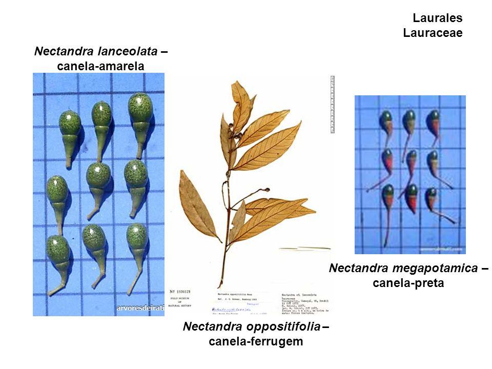 Nectandra lanceolata – canela-amarela