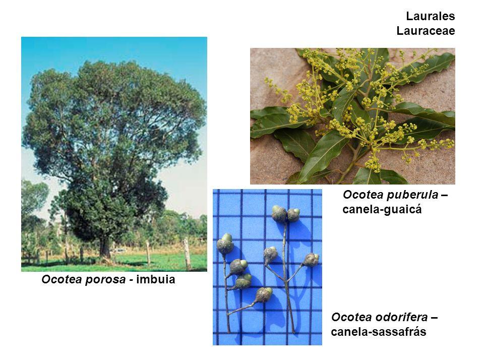 Laurales Lauraceae Ocotea puberula – canela-guaicá.