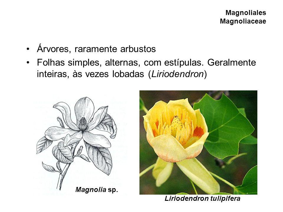 Magnoliales Magnoliaceae
