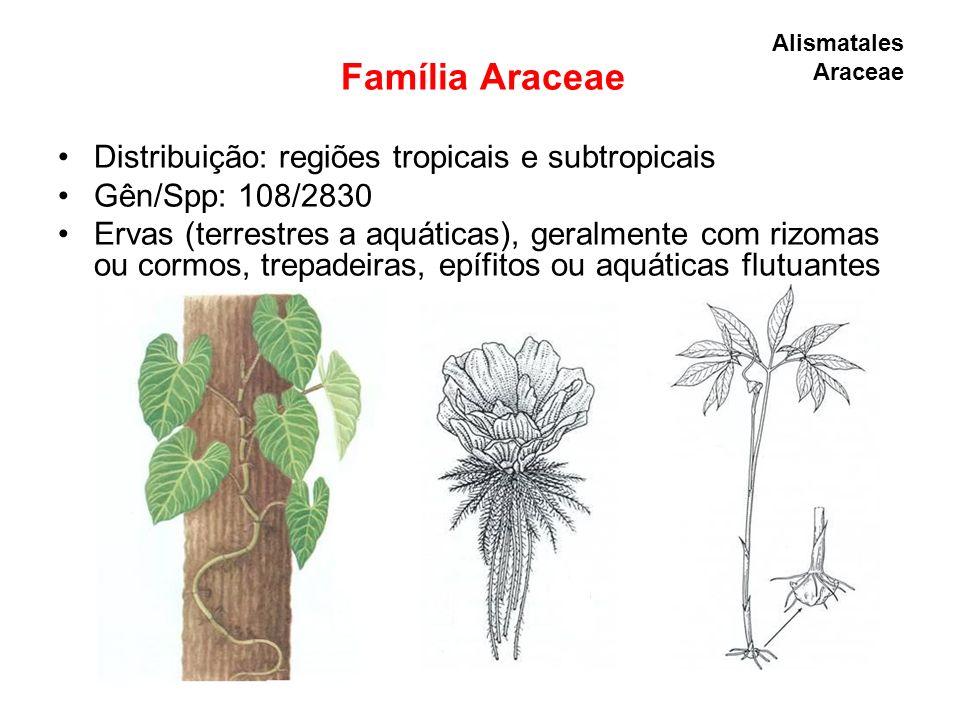 Família Araceae Distribuição: regiões tropicais e subtropicais