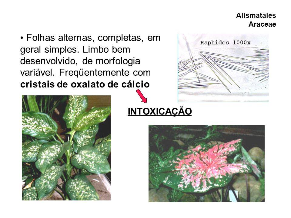 Alismatales Araceae