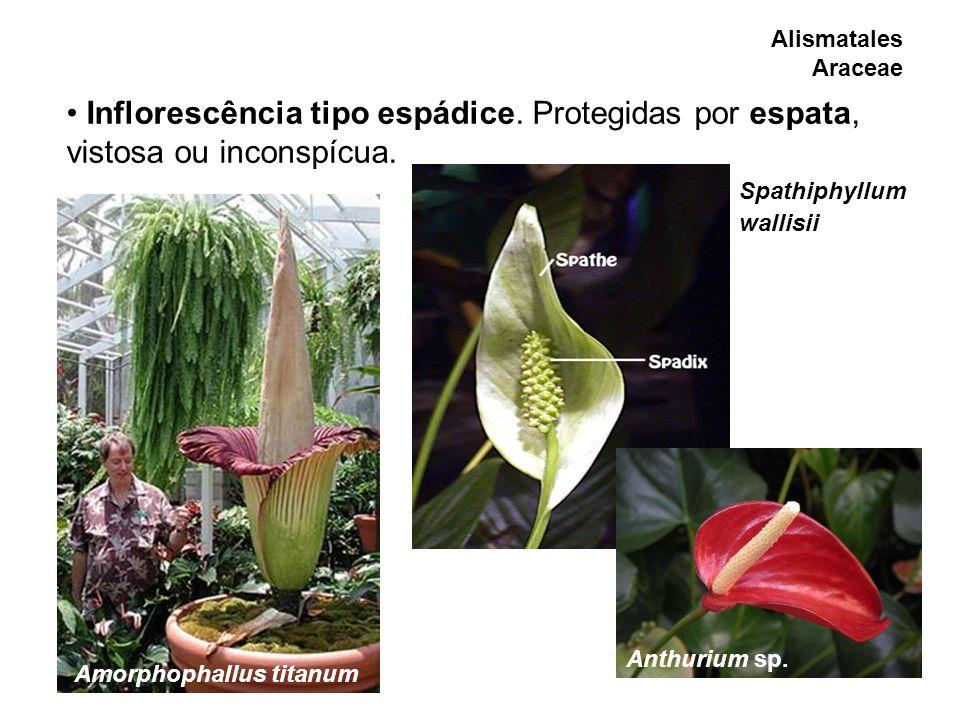 Alismatales Araceae Inflorescência tipo espádice. Protegidas por espata, vistosa ou inconspícua. Spathiphyllum.
