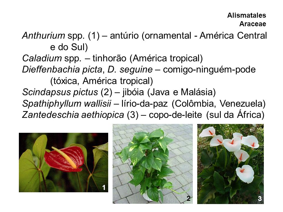 Anthurium spp. (1) – antúrio (ornamental - América Central e do Sul)