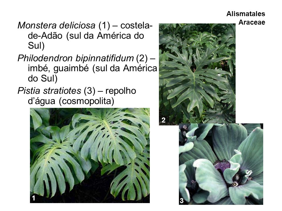 Monstera deliciosa (1) – costela-de-Adão (sul da América do Sul)