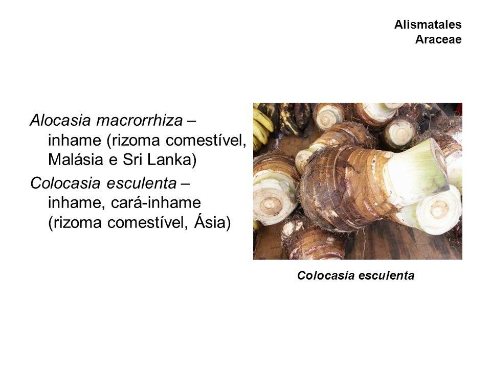 Alocasia macrorrhiza – inhame (rizoma comestível, Malásia e Sri Lanka)
