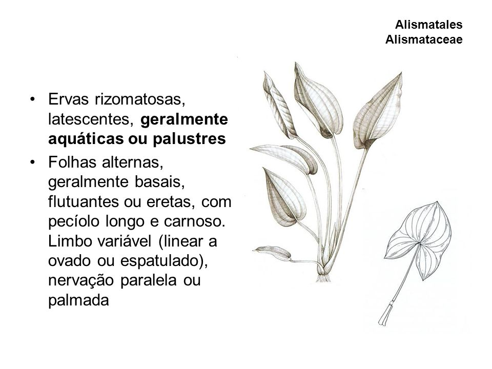 Ervas rizomatosas, latescentes, geralmente aquáticas ou palustres