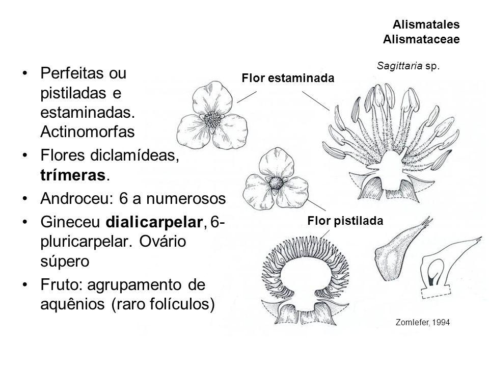 estaminadas. Actinomorfas Flores diclamídeas, trímeras.