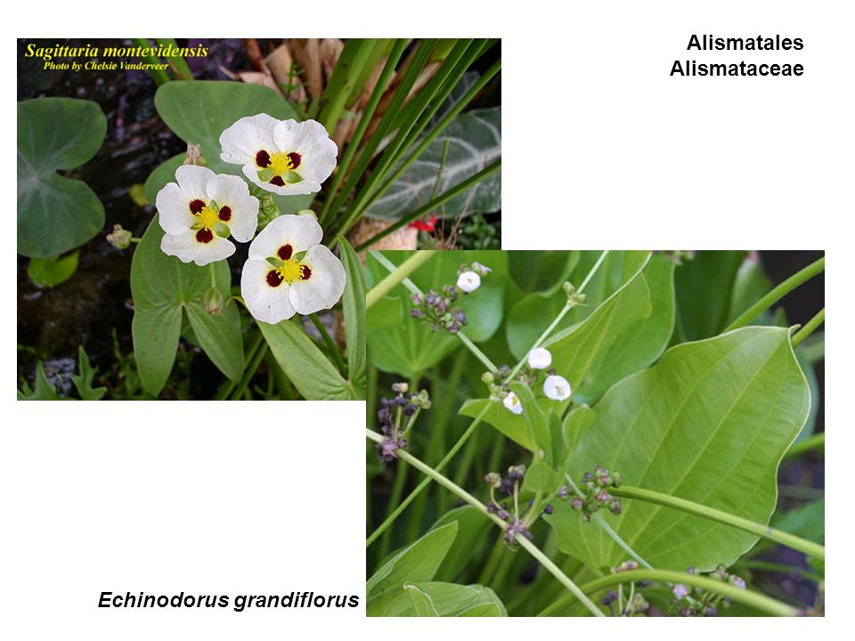 Alismatales Alismataceae