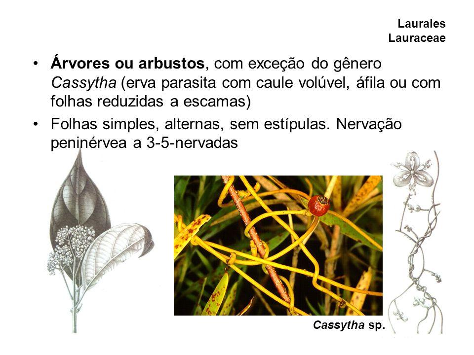 Laurales Lauraceae Árvores ou arbustos, com exceção do gênero Cassytha (erva parasita com caule volúvel, áfila ou com folhas reduzidas a escamas)