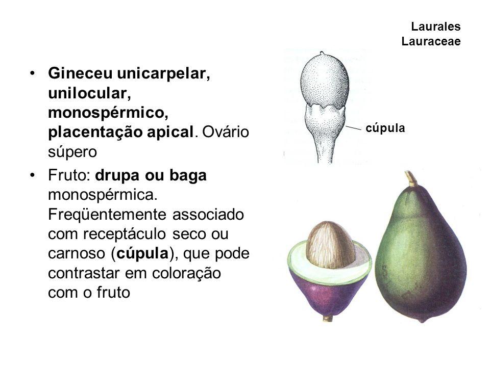 Laurales Lauraceae Gineceu unicarpelar, unilocular, monospérmico, placentação apical. Ovário súpero.