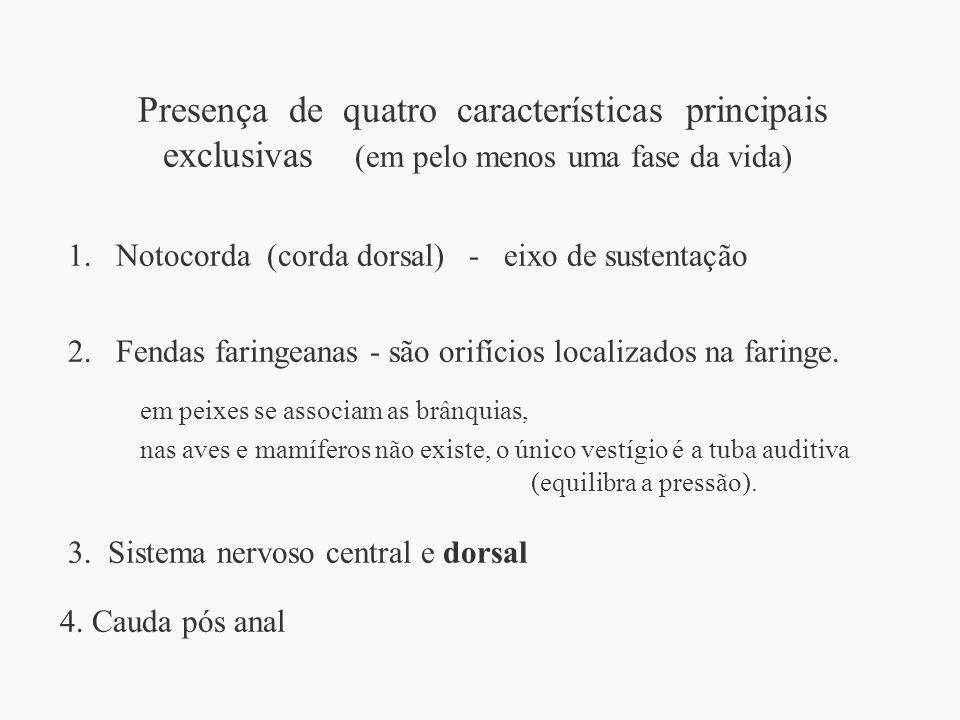 1. Notocorda (corda dorsal) - eixo de sustentação