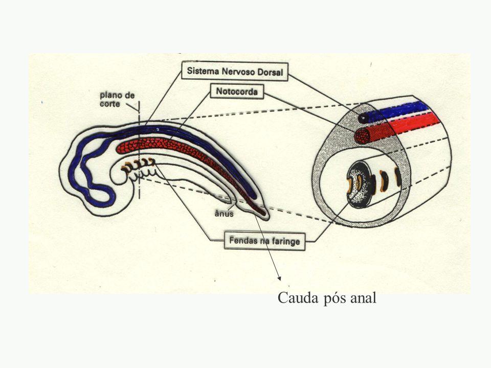 Cauda pós anal adalberto