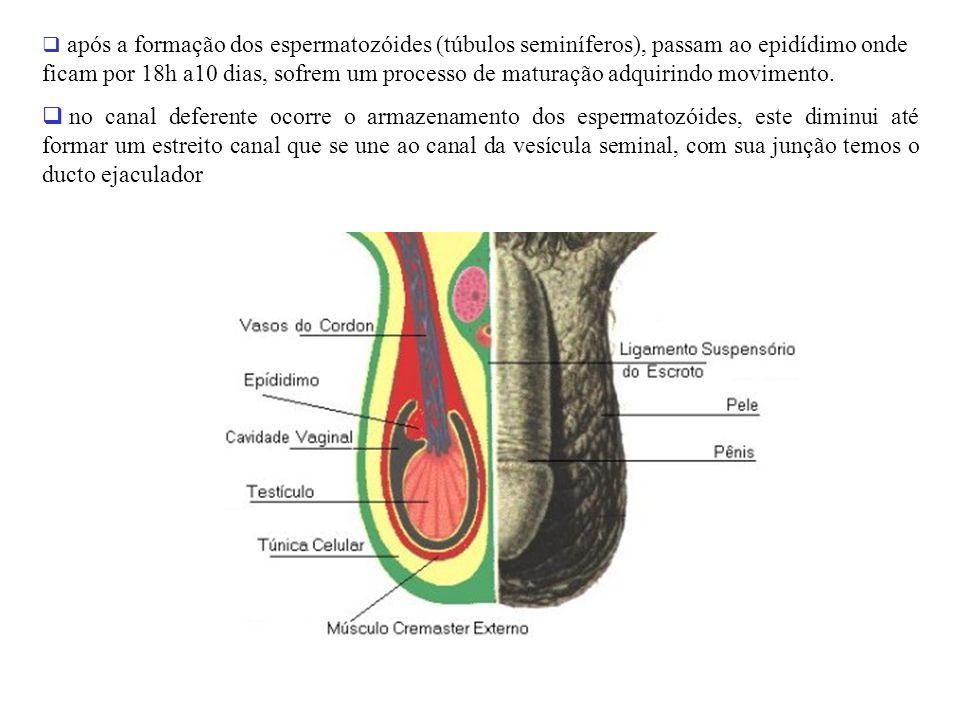 após a formação dos espermatozóides (túbulos seminíferos), passam ao epidídimo onde ficam por 18h a10 dias, sofrem um processo de maturação adquirindo movimento.